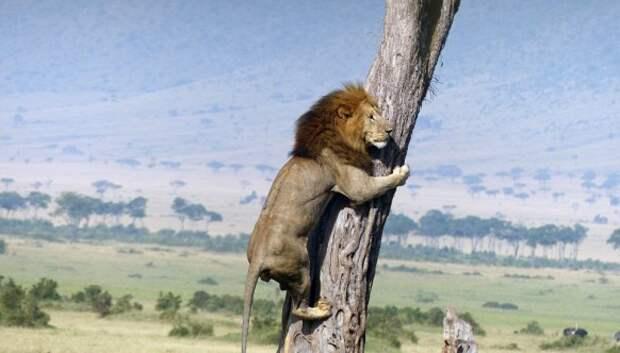 Посрамлённый царь зверей