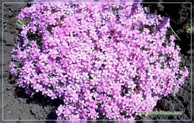 Флоксы метельчатые (фото) — красота зависит от ухода