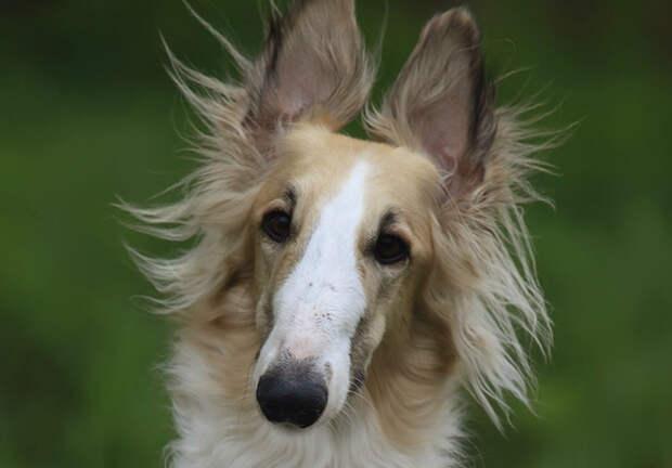 Самые глупые породы собак