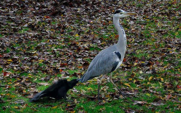 crows-tease-animals-peck-bite-tails-trolls-corvids-13