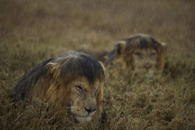 Большие кошки кошачьими делами, смешные тигры львы, анимация большие кошки, анимация тигры львы