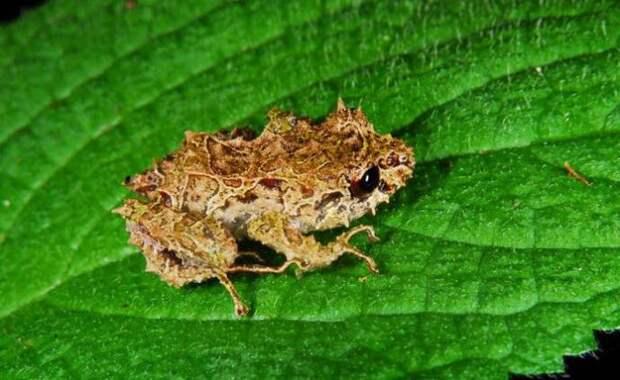 Крошечная лягушка из Эквадора умеет менять структуру кожи