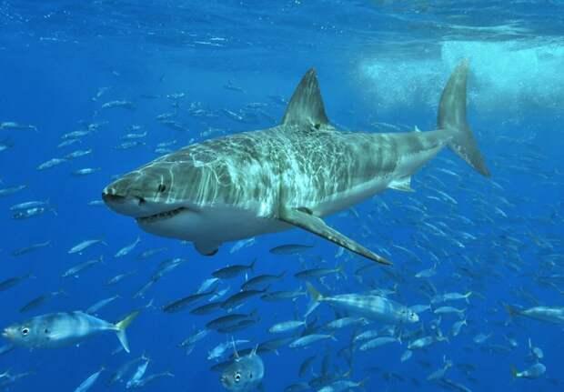 2. Мама всегда говорила, что, когда я вырасту, смогу стать кем только пожелаю. Как-то уже не верю ей Белая акула, фото
