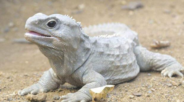 Гаттерия Еще одна необычная рептилия, появившаяся на Земле примерно 230 миллионов лет назад. Это эндемики Новой Зеландии, нигде больше не встречающиеся. Гаттерии доживают до ста лет и имеют третий глаз, расположенный на затылке.