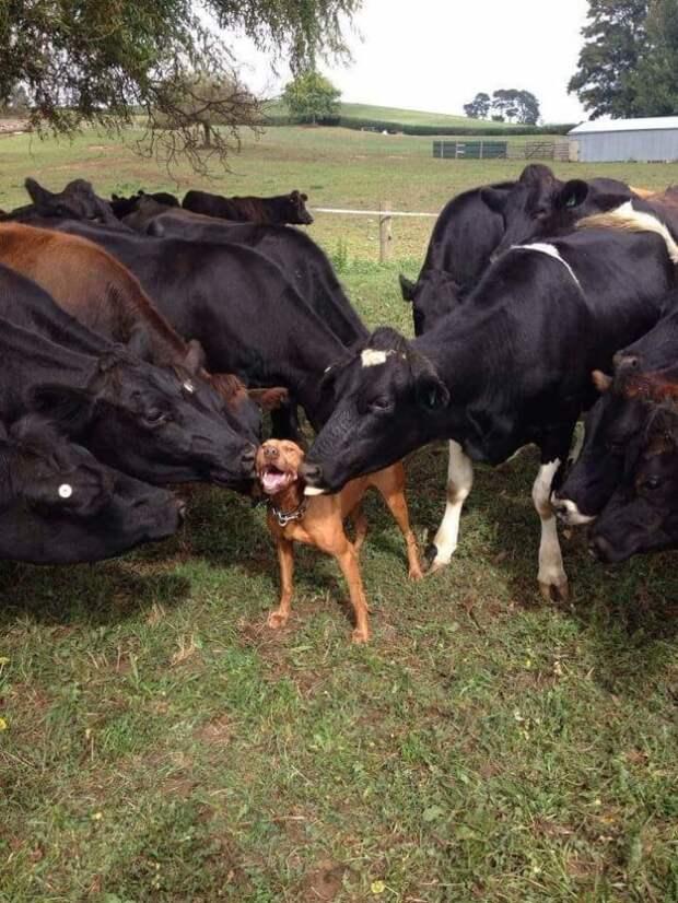20. Все как у собак! Гав! животные, корова, коровы, милота, позитив, собаки, факты