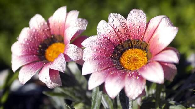 Картинка Цветы, капельки, макро, роса 1920x1080 скачать обои на рабочий стол бесплатно 17028