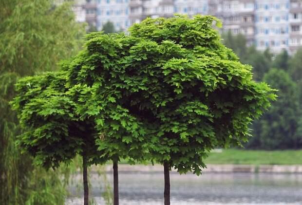 У театра «Золотое кольцо» высадят деревья осенью следующего года