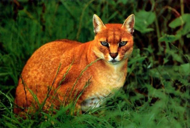 12. Африканская золотая кошка кошки, природа