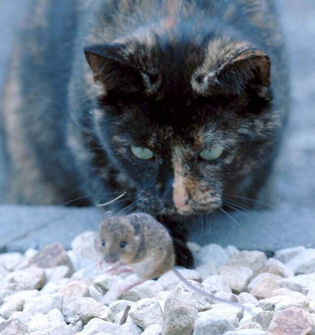 Удивительные фото кошки и мышки с непредсказуемым концом животные, кошки, мышки