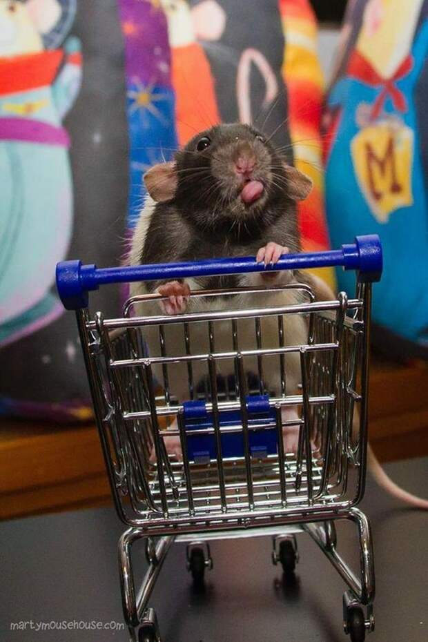 Они даже не подумают помочь вам толкать тележку в супермаркете животные, крыса, милота, позитив