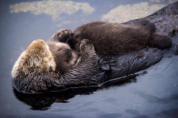 36. Детеныш выдры спит на животике мамы животное, сон