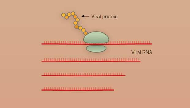 Заражение SARS-CoV-2 клеток человека