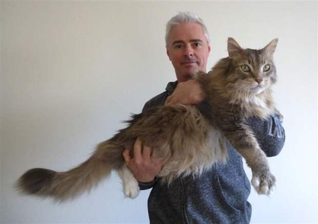 """1. Глядя на него, понимаешь, что означает выражение """"топот котов"""" животные, коты, милота, огромные коты"""