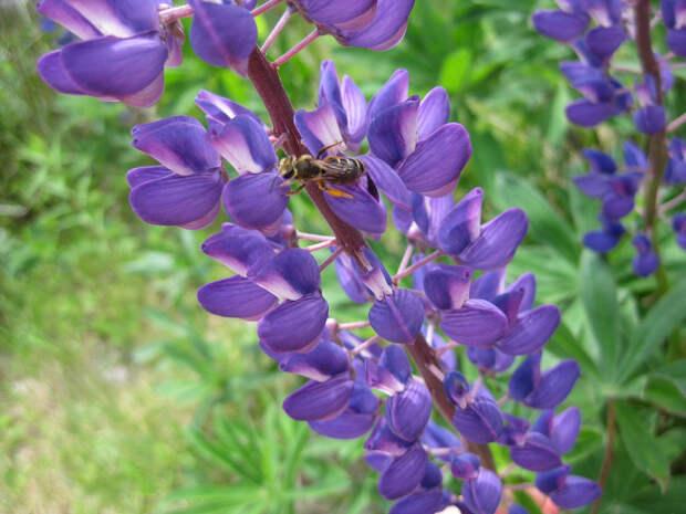 Люпин: фото и виды, посадка и уход в открытом грунте, использование в саду и медицине