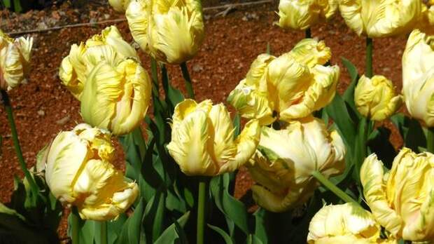 Тюльпан сорт Blondine