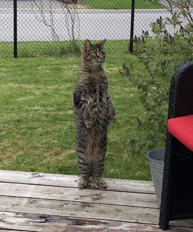 6. Ничего особенного, просто стоящий на задних лапах кот