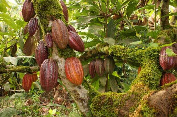 Невероятно ценные бобы какао. \ Фото: google.com.