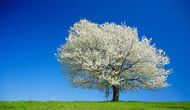 Секреты размещения вишни - место и время