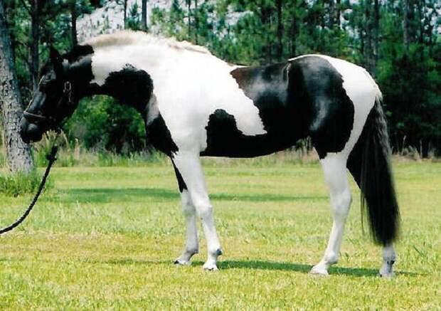 Черно-белый пинто животные, красота, лошади