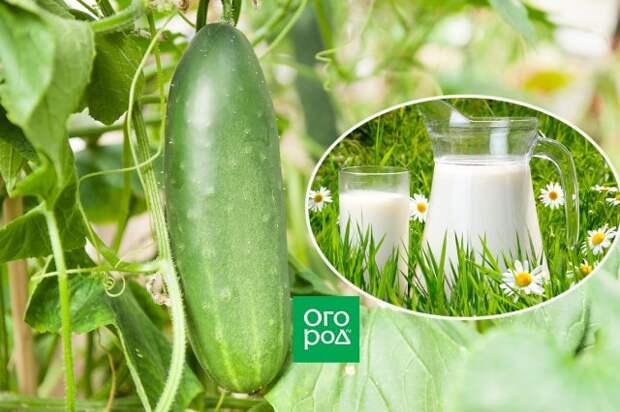 Подкормка огурцов молоком