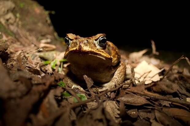 Златобрюхая водяная крыса выжила после ужина ядовитой жабой