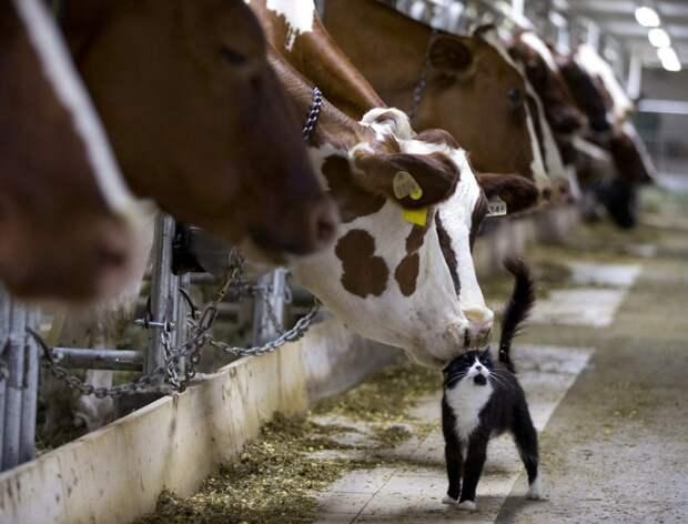 Коровы и кошка