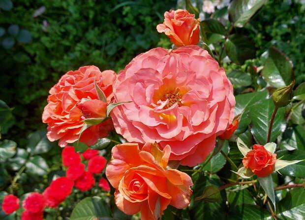 Шпаргалка по розам №15. На 17-18 июля 2021 года