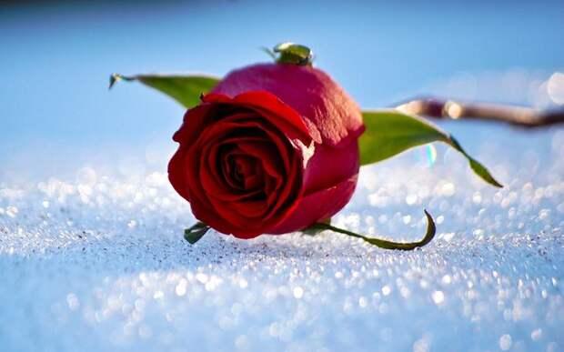 подготовка роз к зиме