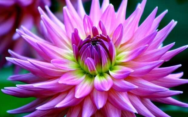 цветы георгины dra flowers beauty 37