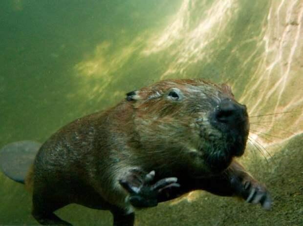 Бобры могут оставаться под водой на протяжении 10-15 минут.