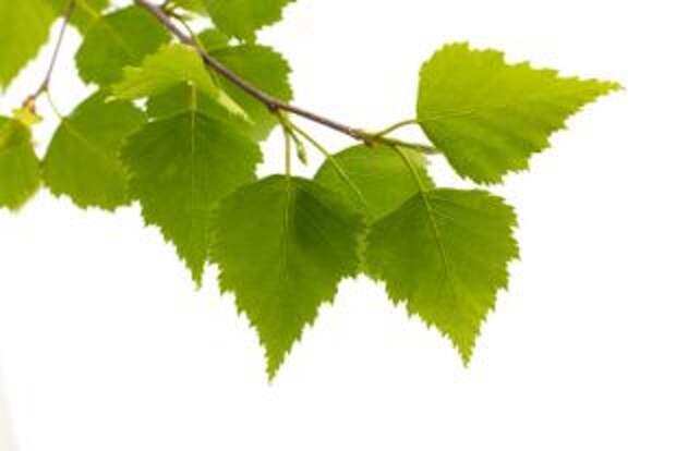 Как сделать компресс из листьев березы для поясницы?