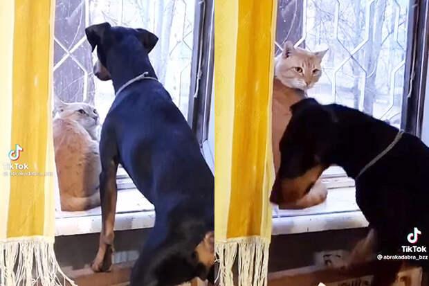 «Ятут хозяин»: пронзительный взгляд кота заставил пса изрядно понервничать