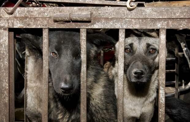 Новосибирские ученые выяснили, зачем древние китайцы начали есть собак