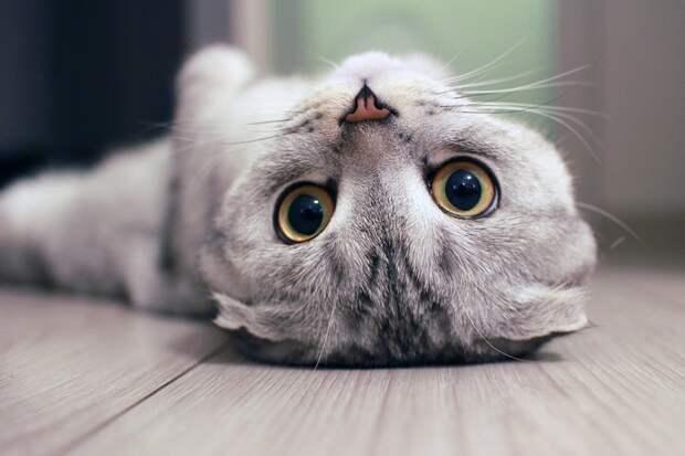 Чего кот от меня хочет? Объясняем самые странные поступки кошек в картинках