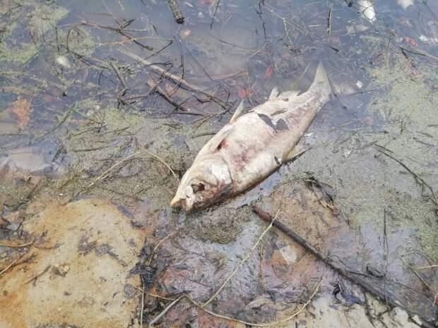 В пруду под Рязанью погибли несколько центнеров рыбы