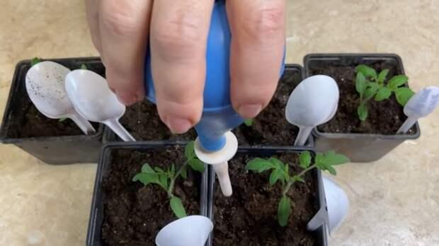 Эффективная подкормок для томатов после пикировки