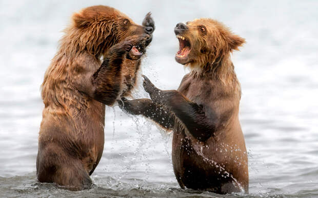 Медведи на полуострове Камчатка