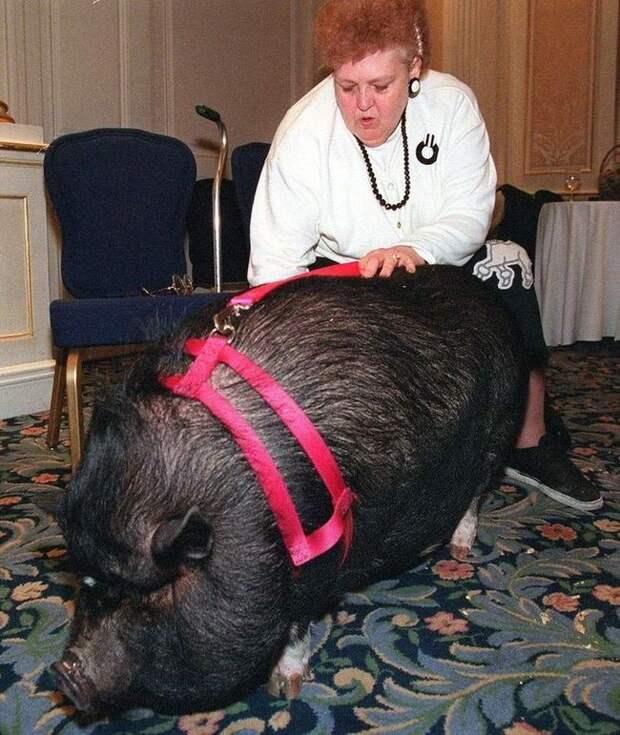 Домашняя свинья Лулу животные, коты