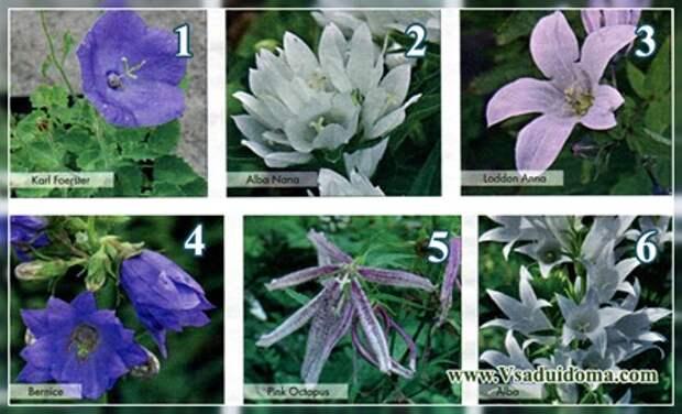 Колокольчики цветы (фото сортов) — описание уход и выращивание