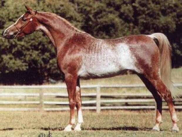 Красный рабикано животные, красота, лошади