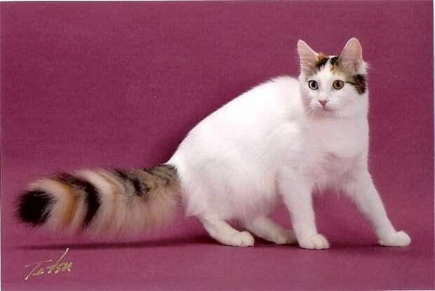 Турецкий ван, турецкая ванская кошка, фото породы кошек картинка