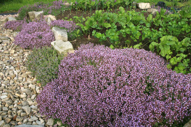 Чабрец — популярное садовое растение