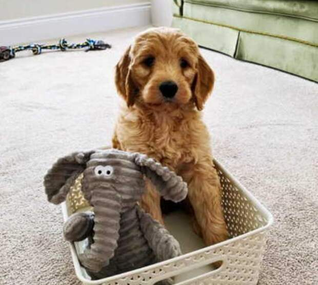 Пара взяла маленького щенка, а через год схватилась за голову