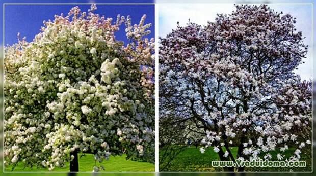 Деревья и кустарники цветущие весной — фото