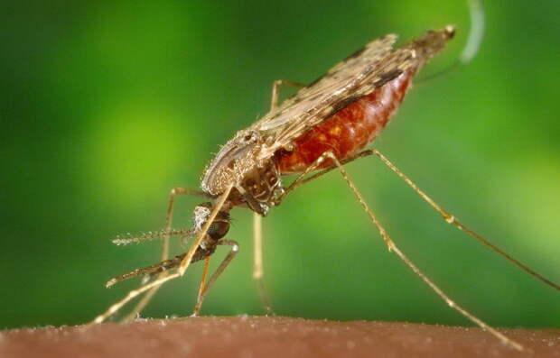 Комары лечат людей