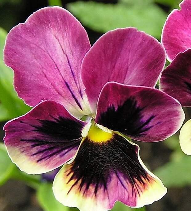 Виола или садовая фиалка: выращиваем рассаду для раннего цветения.