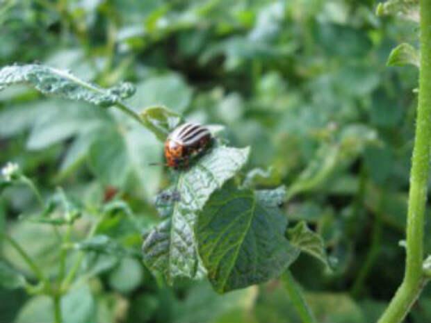 Как бороться с колорадским жуком: химическая обработка, народные средства, неожиданные союзники