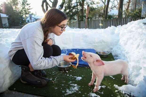 Этот поросёнок едва не замёрз до смерти в снегу, но, к счастью, был вовремя спасён животное, свинку, спосли