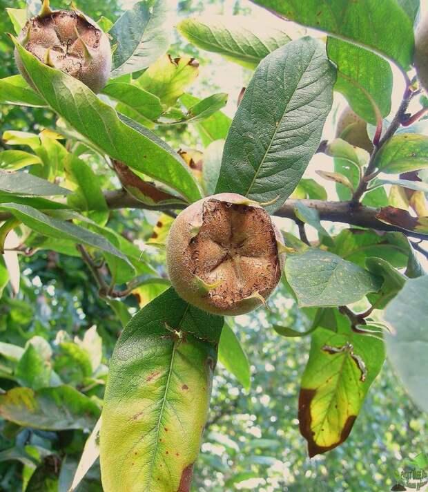 http://fruittree.ru/wp-content/uploads/2014/07/mushmula_germanskaja_foto3.jpg