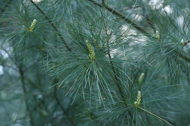 Сосна веймутова, или белая восточная (Pinus strobus)